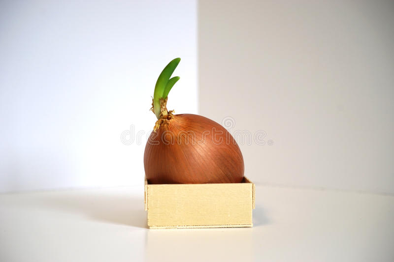 Sprouting onion limited by small box container. Sprouting onion is overlarge for small wooden box. Metaphor for constrained business growth beyond current bounds royalty free stock image