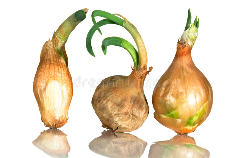 Sprouting Onions Stock Photos