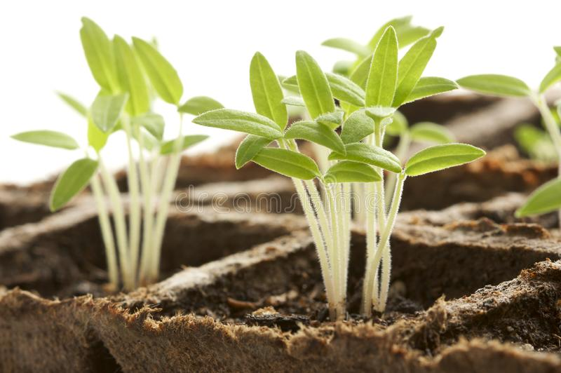 Sprouting Plants stock photo