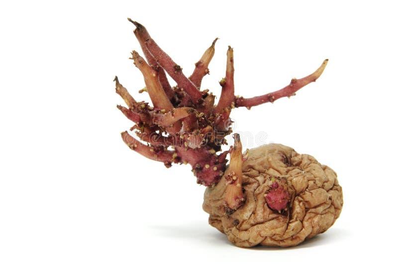 Sprouting potato royalty free stock image