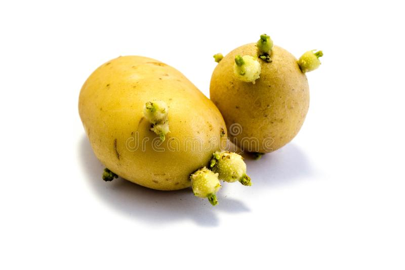 Sprouting potato isolated on white background royalty free stock photography