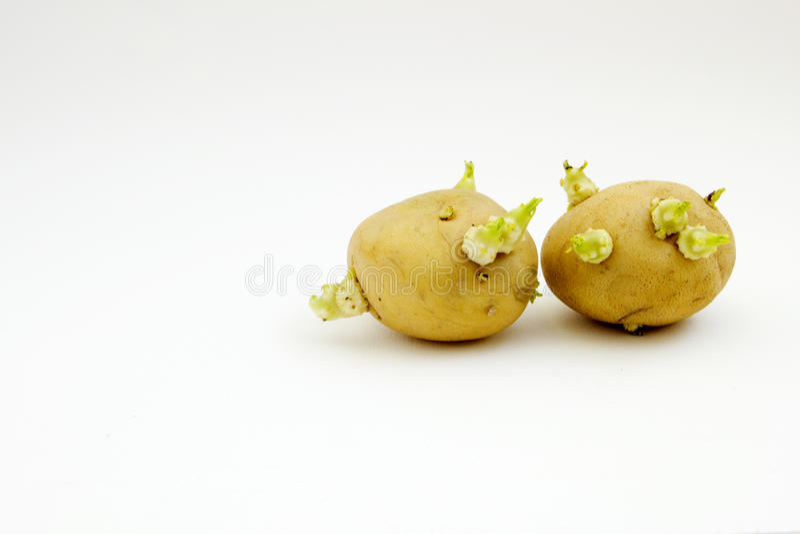Sprouting Potato tubers royalty free stock photo