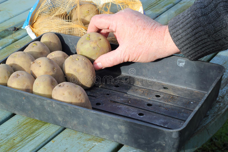 Sprouting seed potatoes. stock photo