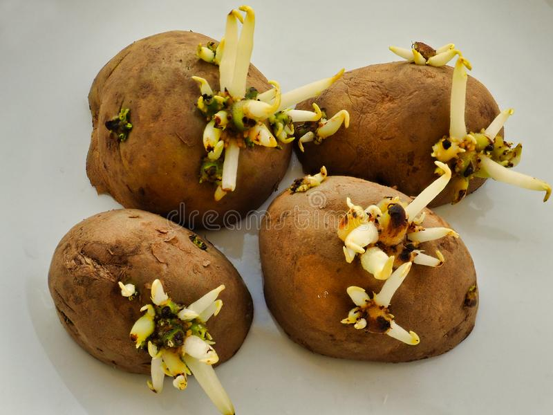 Sprouting Seed Potatoes on White Plate stock photography