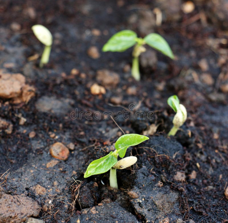 Sprouting seeds stock image