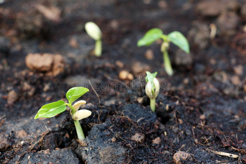 Sprouting seeds. A close-up shot of sprouting seeds showing the high-contrast between new green leaves and black fertile earth royalty free stock photo