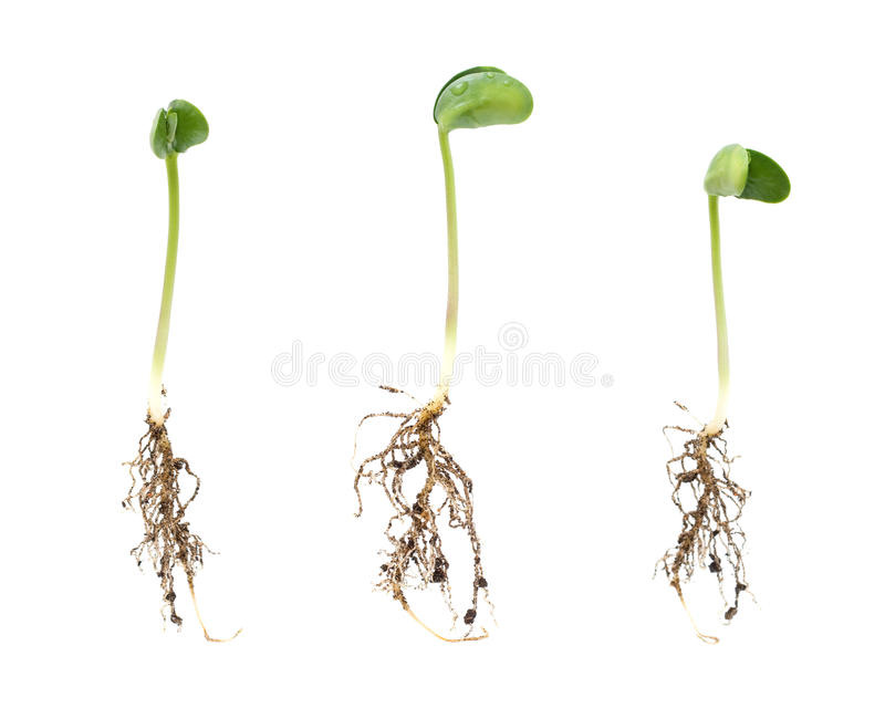 Sprouts stock image