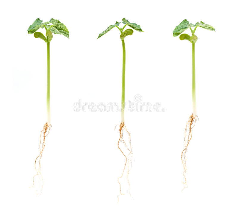 Download Sprouts stock image. Image of conceptual, garden, emerging - 14994107