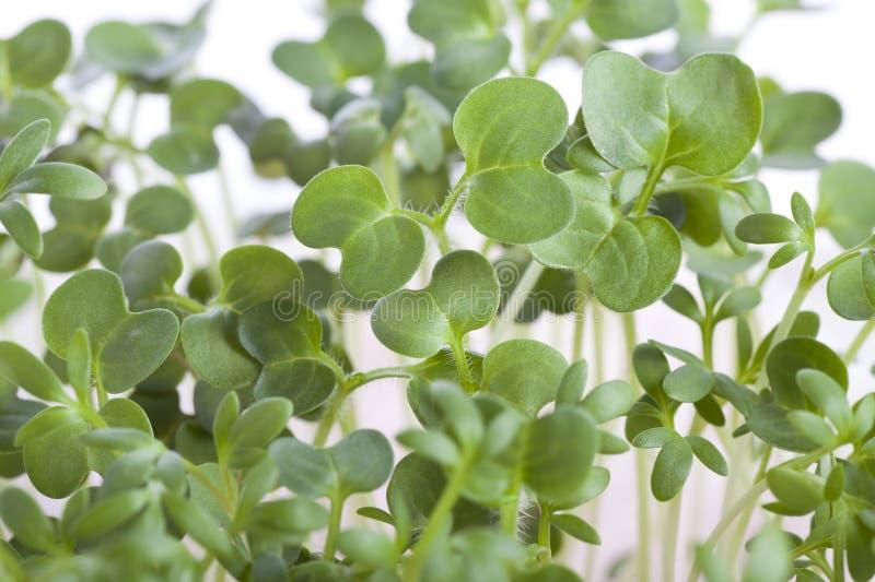 Sprouts imagem de stock royalty free