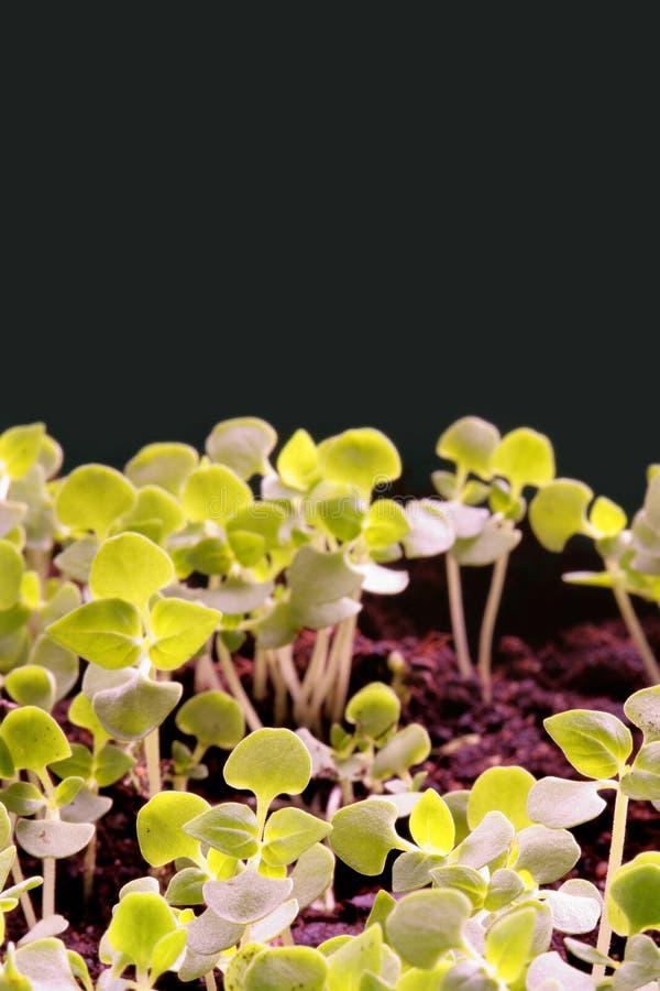Sprouts fotografia de stock royalty free