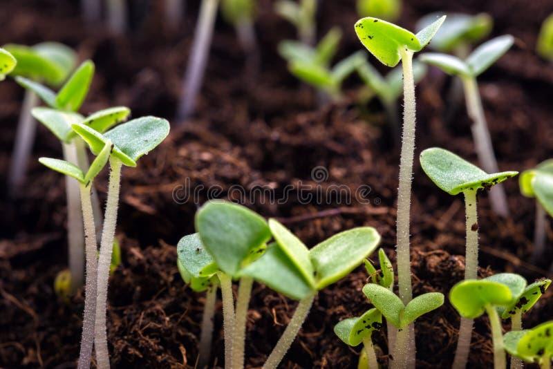 sprouts foto de stock