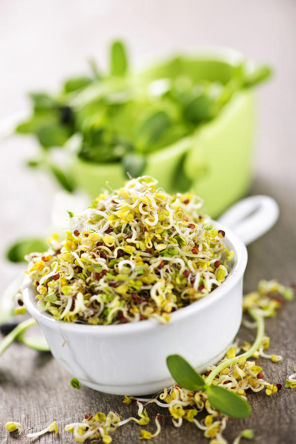 Sprouts in cups royalty free stock photo
