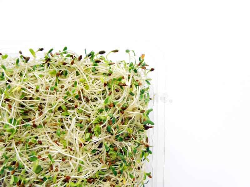 Sprouts da alfalfa & do radish fotografia de stock