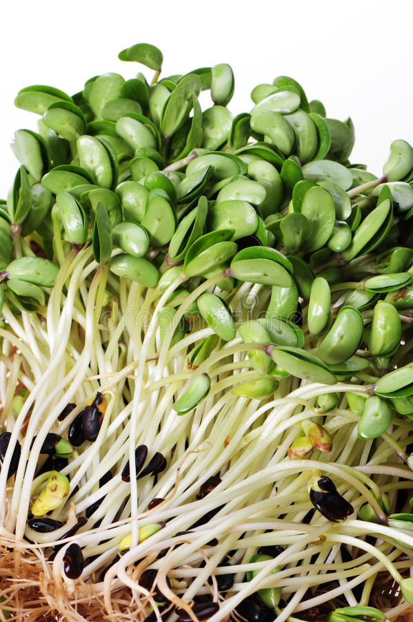 Sprouts da ervilha foto de stock