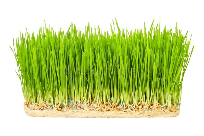 Sprouts da grama foto de stock