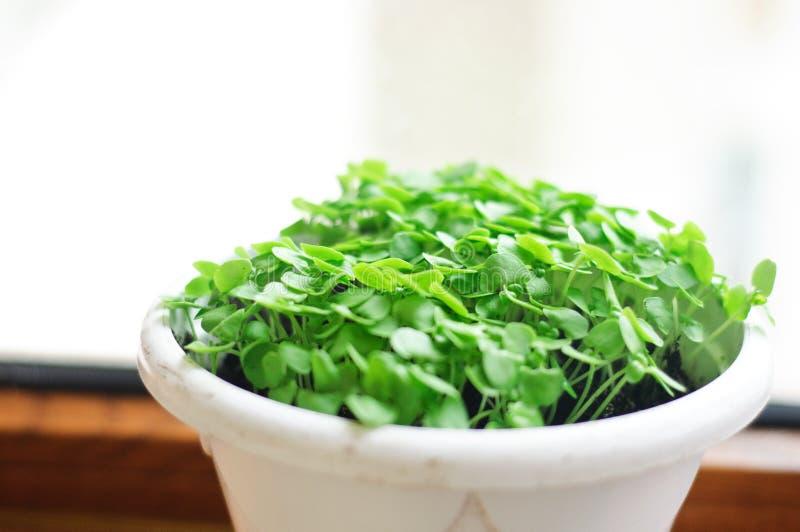 Sprouts da manjericão em um potenciômetro fotografia de stock royalty free