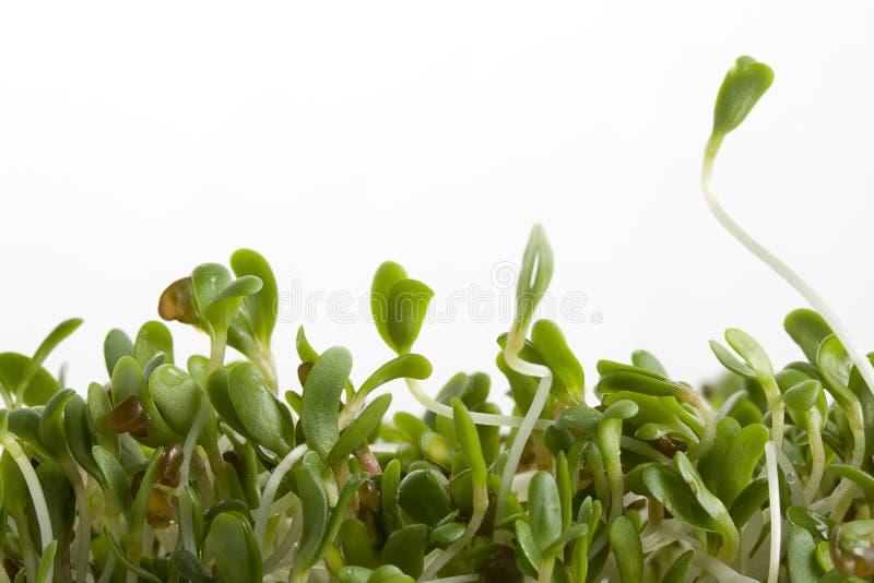 Sprouts de alfalfa no branco foto de stock royalty free