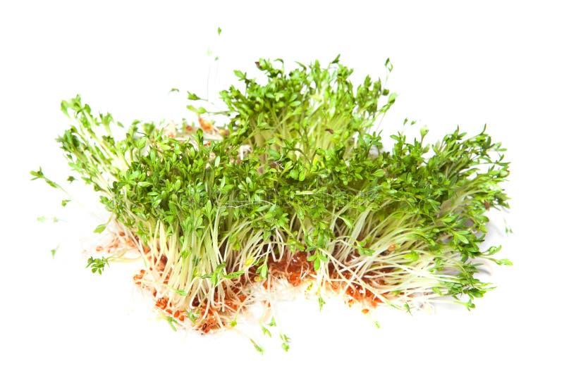 Sprouts do agrião imagens de stock