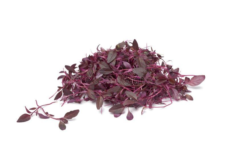 Sprouts do amaranto vermelho fotos de stock royalty free