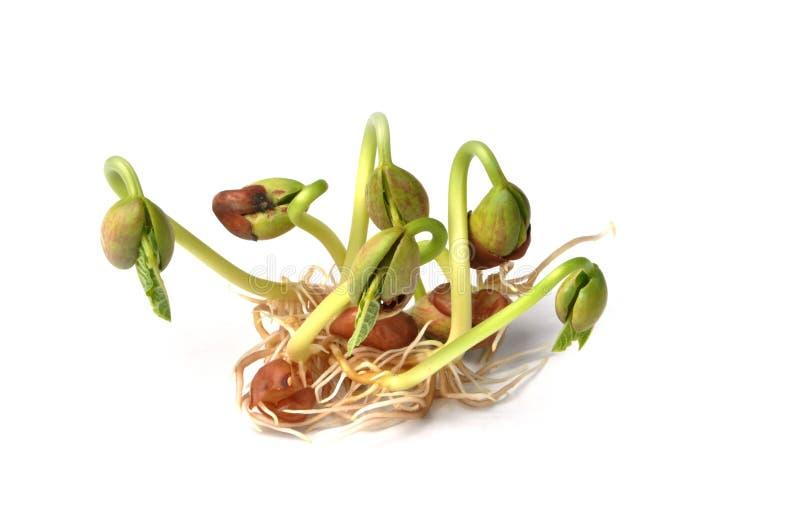 Sprouts do feijão imagem de stock royalty free