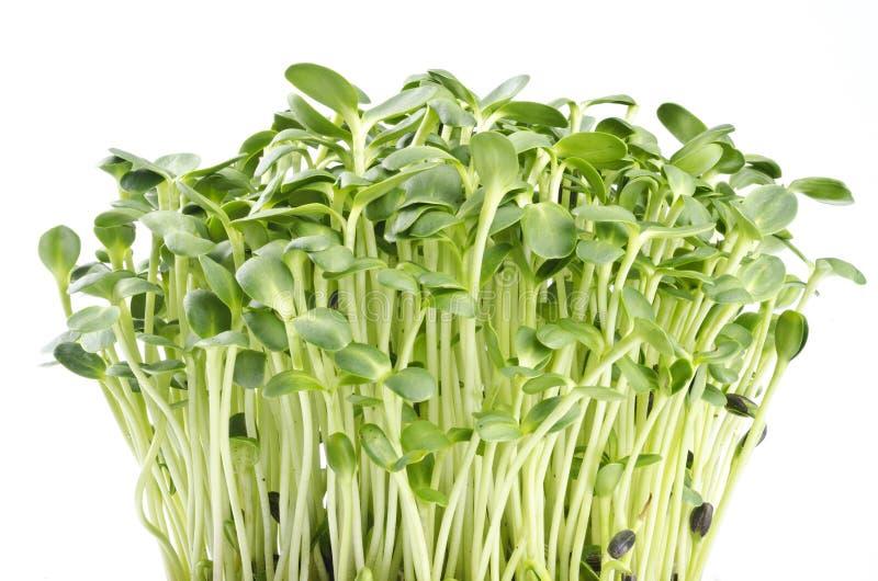 Sprouts do girassol fotografia de stock royalty free