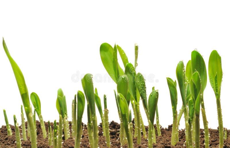 Sprouts do milho imagem de stock
