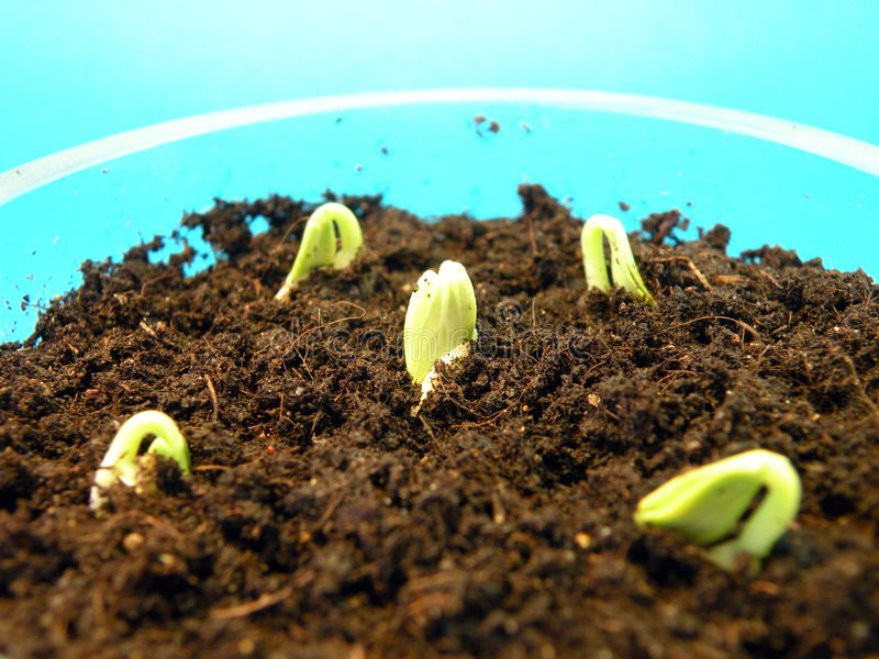 Sprouts do pepino fotografia de stock royalty free