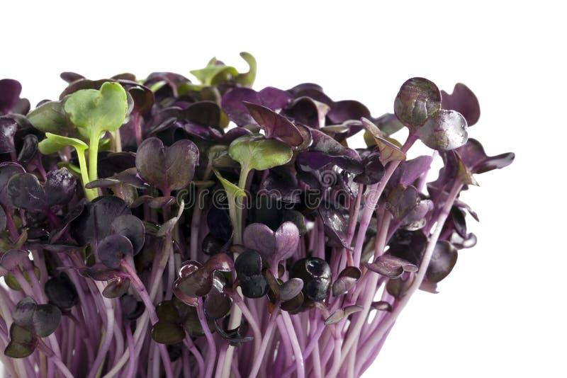 Sprouts do Radish fotos de stock