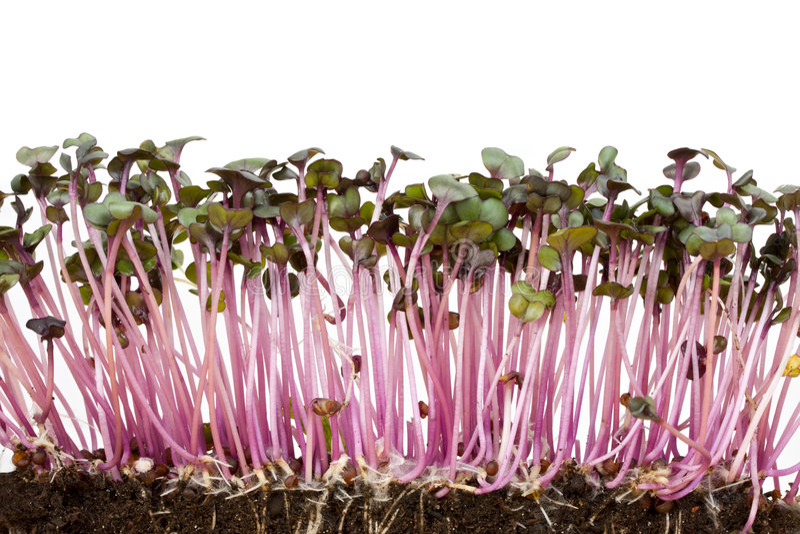 Sprouts do repolho vermelho imagens de stock royalty free