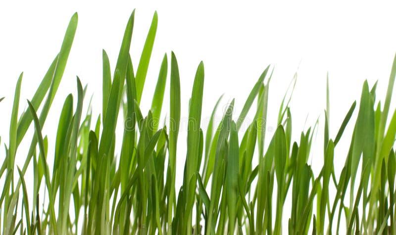Sprouts do trigo fotos de stock