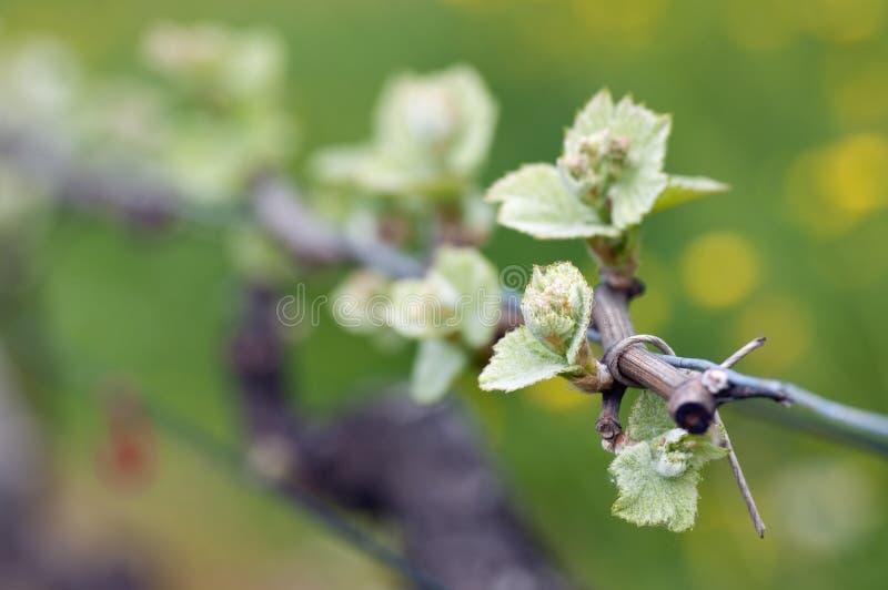 Sprouts do vinho da uva imagens de stock