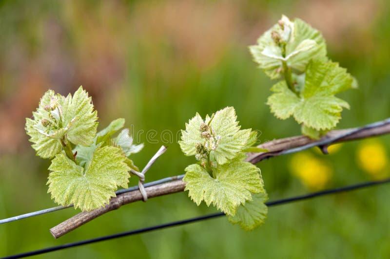 Sprouts do vinho da uva imagem de stock royalty free