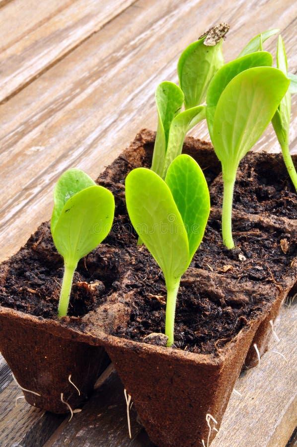 Sprouts do Zucchini foto de stock royalty free
