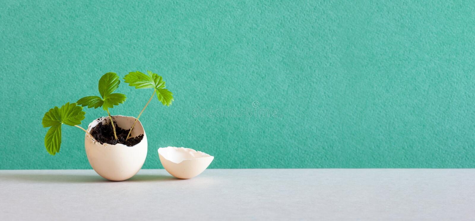 Sprouts in an eggshell. Easter new life concept. Young strawberry sprigs broke the walls of the egg and reaches for the. Light. green wall gray background, copy royalty free stock image