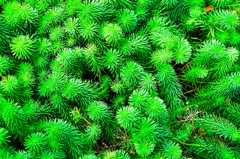 Sprouts of Euphorbia cyparissias, the cypress spurge, is a species of plant in the genus Euphorbia. stock image