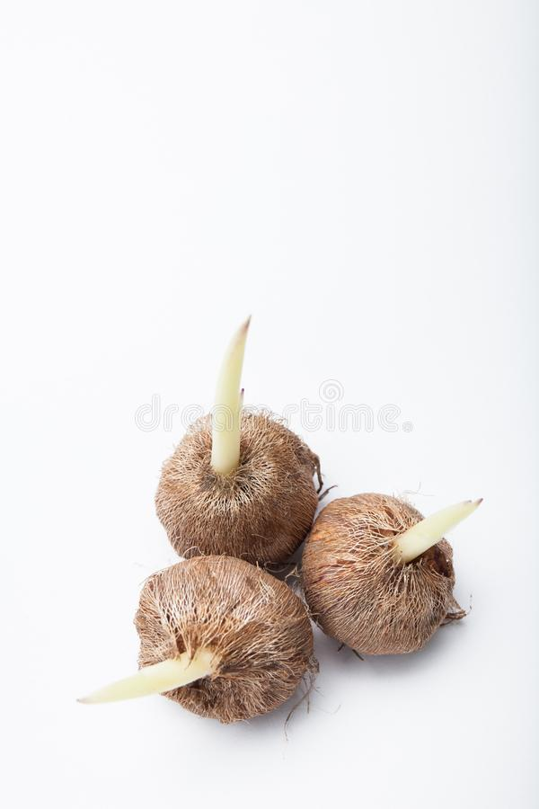 Sprouts of flower bulbs on a white background. Copy space.  stock photo