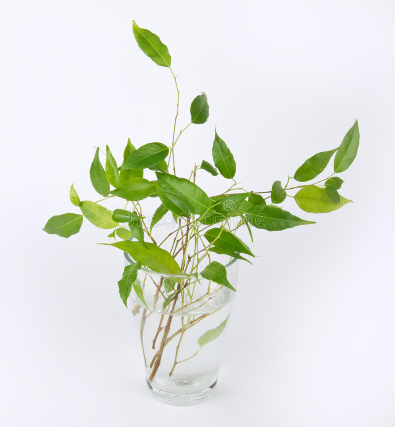 Download Sprouts Of Green Ficus Tree Stock Image - Image: 26797063