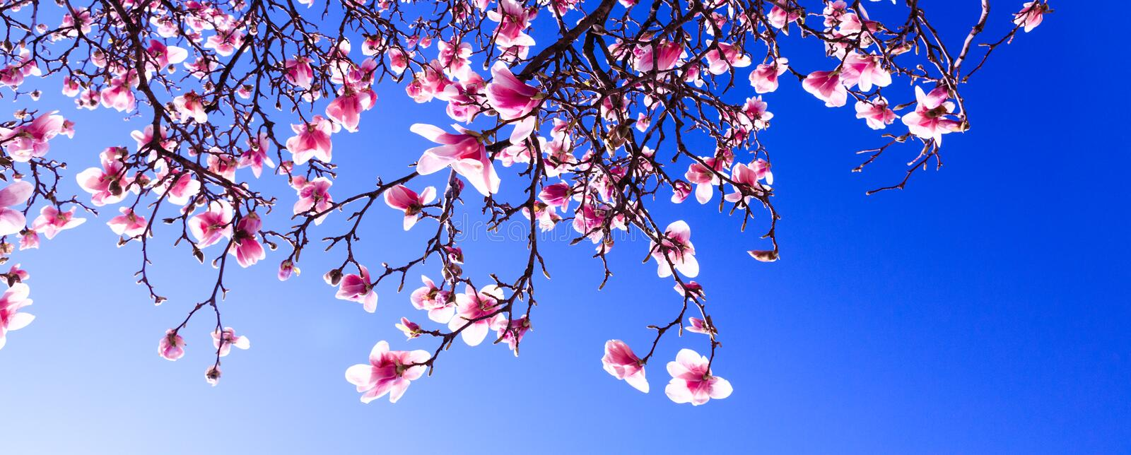 Sprouts of magnolia tree on background of blue sky, during spring period. Budded branch with pink flowers in bloom season. Flourishing or bloom period for the royalty free stock photography