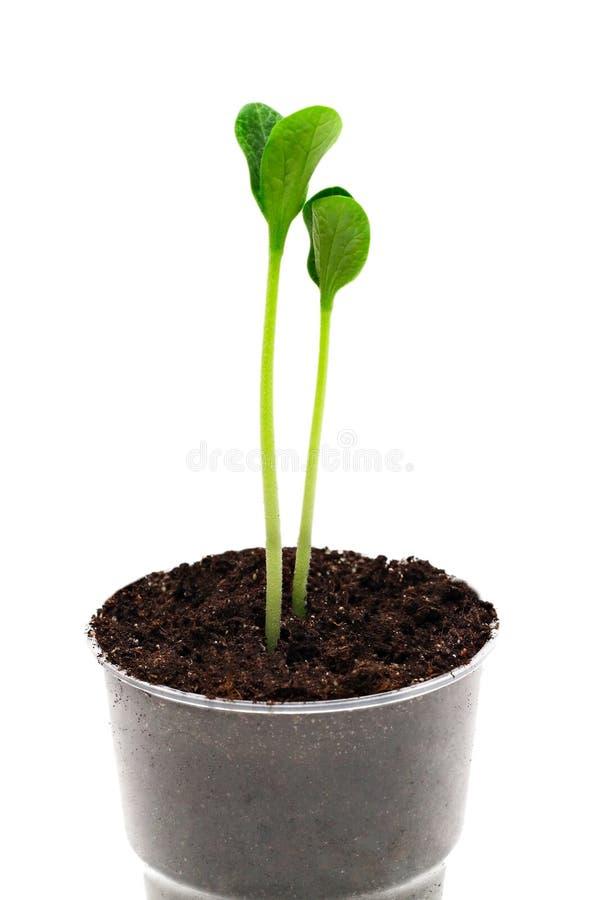 Sprouts no potenciômetro fotos de stock