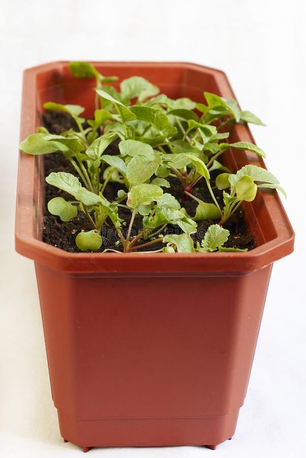 Sprouts novos do radish imagem de stock