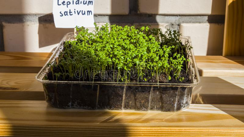 Sprouts of seedlings grow.Organic plant growing-image. Seedlings grow indoors on the windowsill.. Clear sunny day. Organic plant growing royalty free stock image