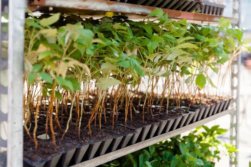 Sprouts and seedlings of raspberries in a container in a garden store stock images