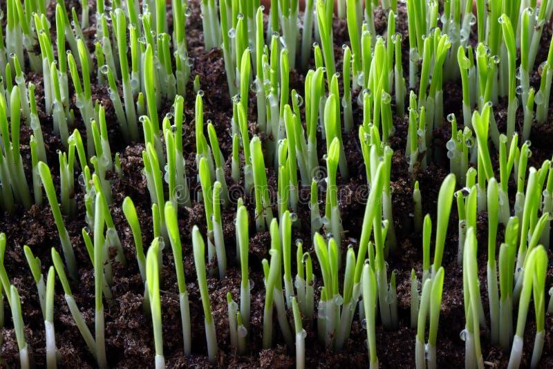 Sprouts verdes. imagens de stock royalty free