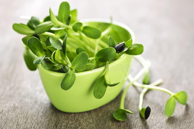 Sprouts verdes do girassol em um copo fotografia de stock