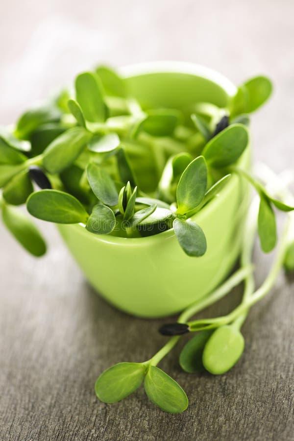 Sprouts verdes do girassol em um copo imagem de stock royalty free