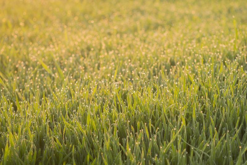 Sprouts of winter wheat sparkle at sunrise with dew drops glistening. Young wheat grows in the field. Landscape royalty free stock images