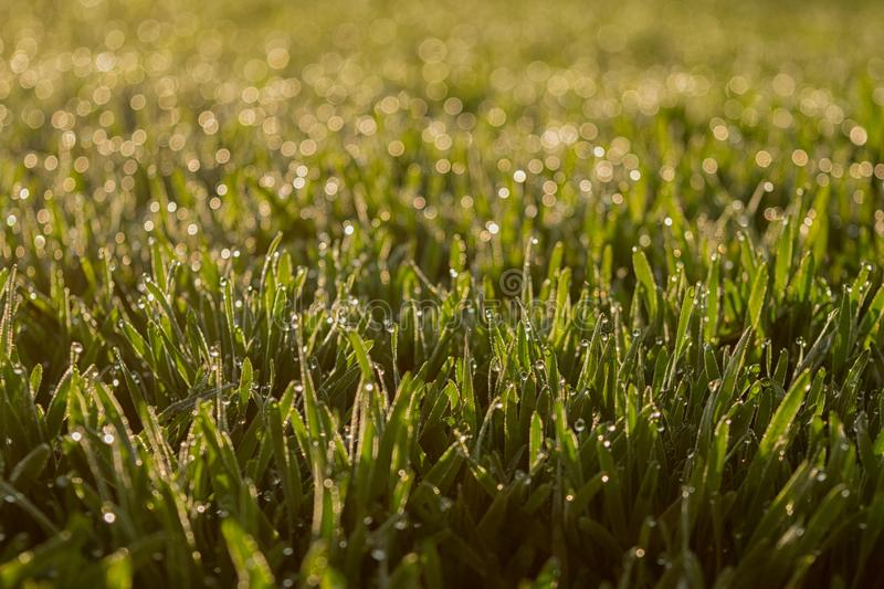 Sprouts of winter wheat sparkle at sunrise with dew drops glistening. Young wheat grows in the field. Landscape royalty free stock photo