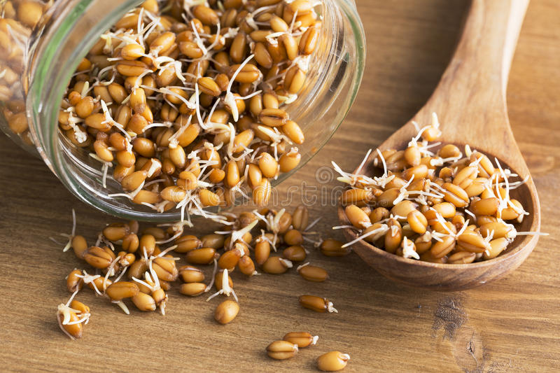 Sprouts in Wooden Spoon and Jar. Whole wheat sprouts in wooden spoon and spilling from sprouting jar stock photo