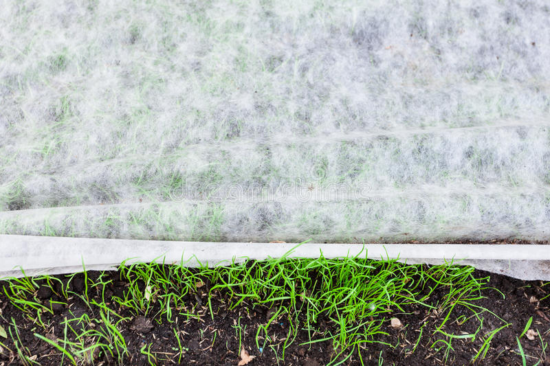 Sprouts of young green grass under nonwoven fabric stock images