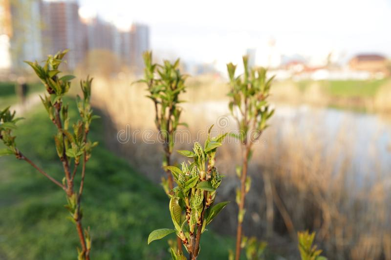 Sprouts young tree on the background of the river and the city royalty free stock images